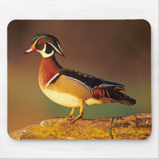 Male wood duck, Illinois Mouse Pad