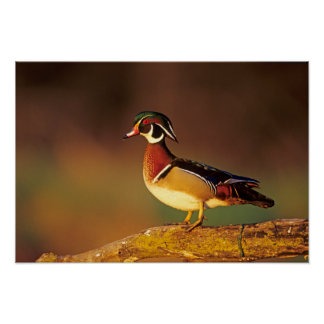 Male wood duck, Illinois Poster