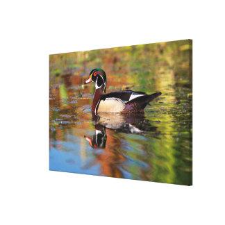 Male wood duck swims, California Canvas Print