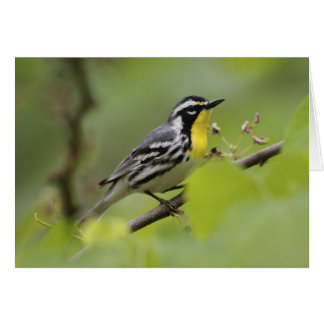 Male Yellow-throated Warbler, Dendroica Card