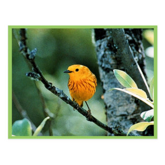 Male Yellow Warbler Postcard