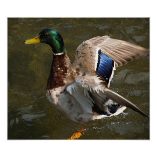 mallard duck about to fly Canvas Print
