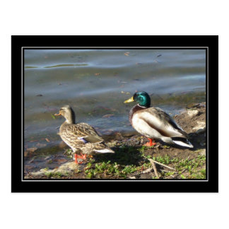 Mallard duck couple postcard