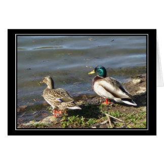 Mallard duck couple postcard greeting card