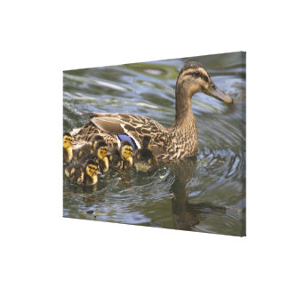 Mallard Duck female and chicksAnas Canvas Print