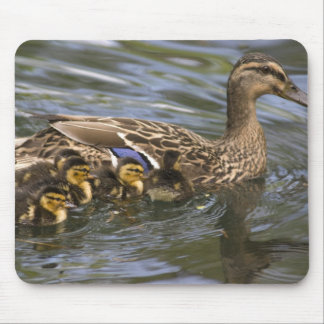 Mallard Duck female and chicksAnas Mouse Pad