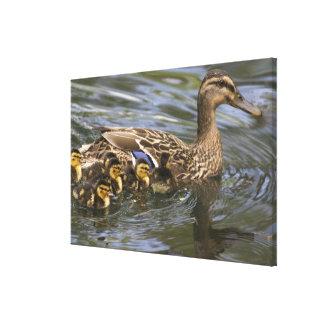 Mallard Duck female and chicksAnas Stretched Canvas Prints