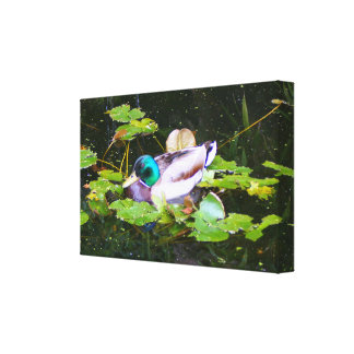 Mallard duck in a pond canvas print