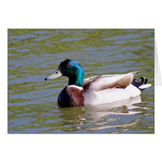 mallard  duck in the park card
