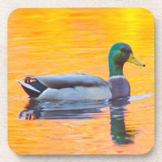 Mallard duck on orange lake, Canada Coaster