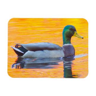 Mallard duck on orange lake, Canada Rectangular Photo Magnet