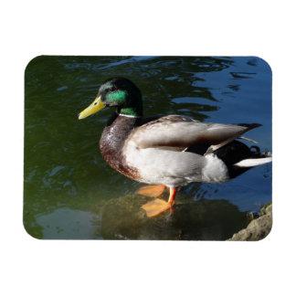 Mallard DuckPhoto Magnet