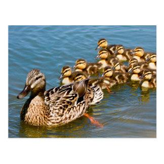 Mallard Ducklings and Momma Postcard