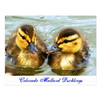 Mallard Ducklings Postcard