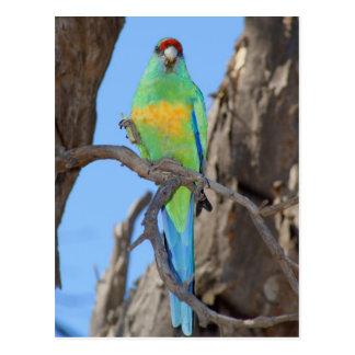 Mallee Ringneck Parrot Postcard