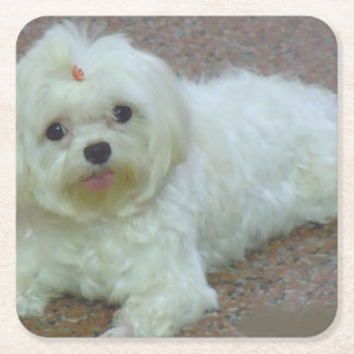 maltese laying square paper coaster