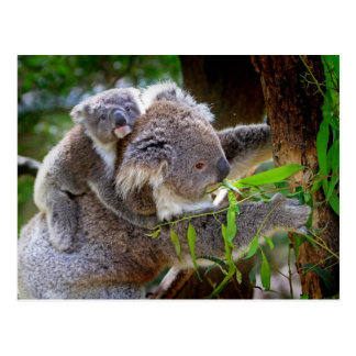 Mama and Baby Koalas Postcard