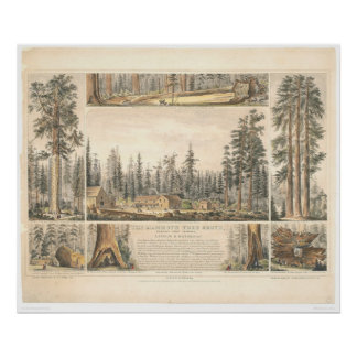 Mammoth Tree Grove (0976A) Poster