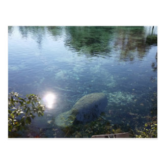 Manatee In Crystal River, FL Postcard