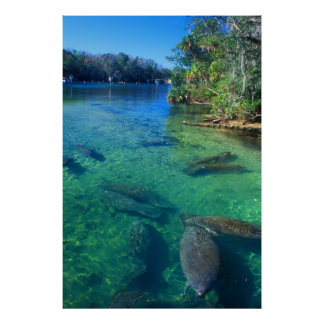 Manatees in River Poster