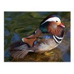 Mandarin Duck Post Cards