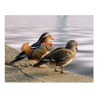 Mandarin ducks togertherness postcard