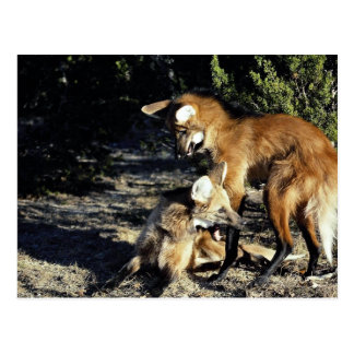 Maned wolves, mated pair postcard