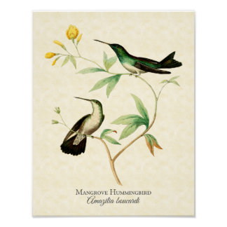 Mangrove Hummingbird Art Print