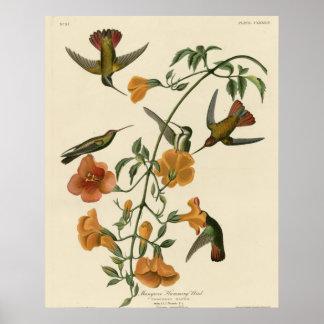 Mangrove Hummingbird Poster