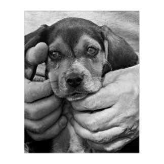 Man's Best Friend In Black and White Beagle Puppy Acrylic Print