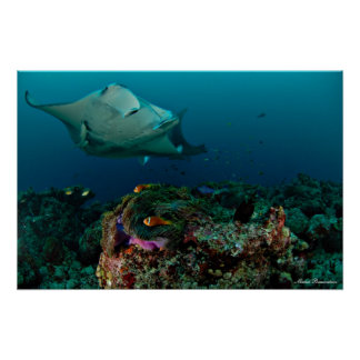 Mantarays over anemone - Poster
