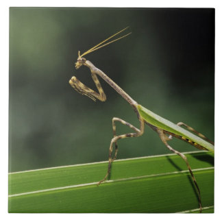 Mantid, Mantidae, adult on palm frond, The Inn Large Square Tile