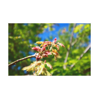 Maple Buds Canvas Print
