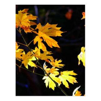 Maple Leaves Postcard