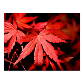 Maple Leaves - Red Postcard