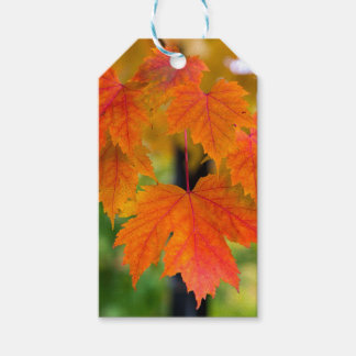 Maple Tree Leaves in Fall Color Closeup Gift Tags