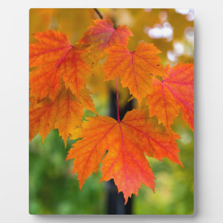 Maple Tree Leaves in Fall Color Closeup Plaque