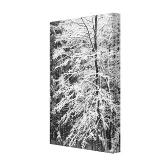 Maple Tree Outlined In Snow Gallery Wrap Canvas