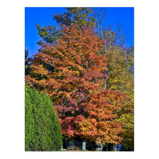 Maple Tree Vermont Fall Postcard
