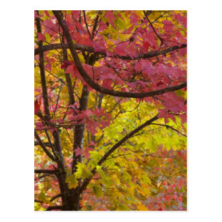 Maple trees display vibrant red gold green and postcard
