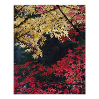 Maple trees in autumn color poster