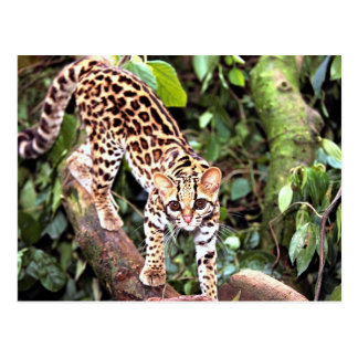 Margay (Felis wiedi) in tree Postcard