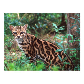 Margay, Leopardus wiedi, Native to Mexico into Postcard
