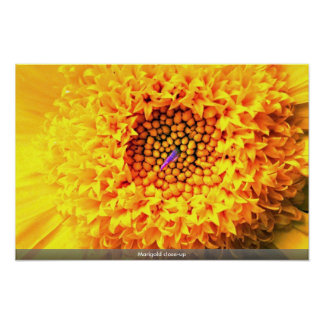 Marigold close-up poster