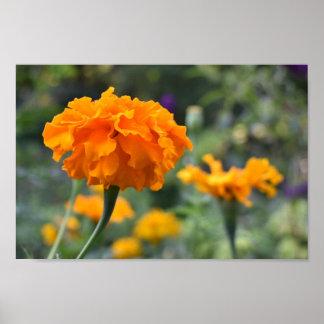 Marigold Orange Flower Nature Photography Garden Poster