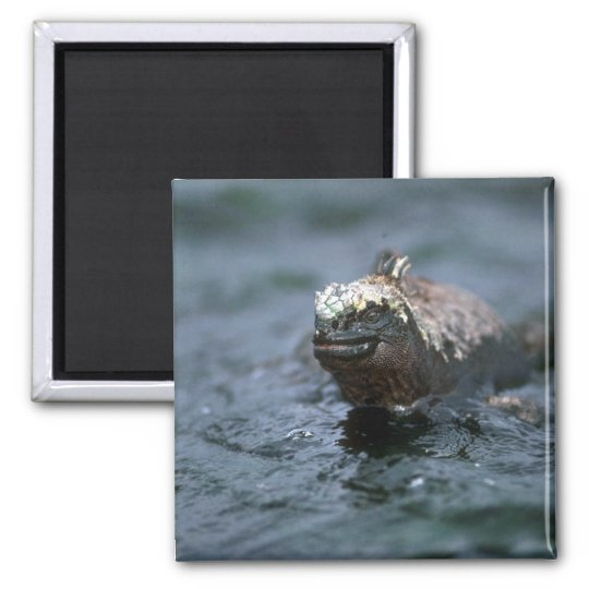 Marine Iguana Swimming Out To Feed Magnet
