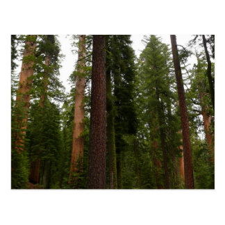 Mariposa Grove in Yosemite National Park Postcard