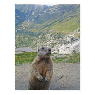 Marmot at Furka Pass Postcard