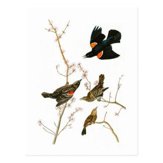 Marsh Blackbird John Audubon Birds of America Postcard