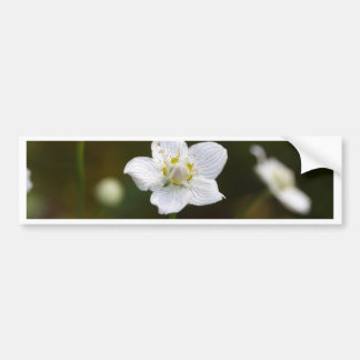 Marsh grass of Parnassus (Parnassia palustris) Bumper Sticker